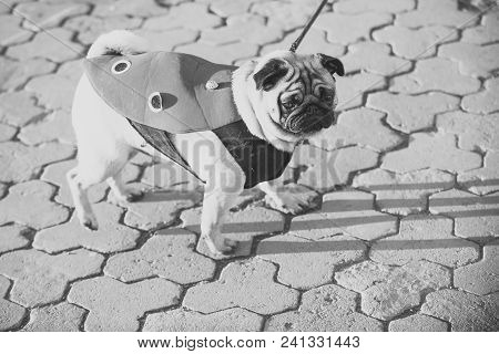 Dog or pugdog in red coat walk on pavement on sunny day outdoor. Pet fashion concept. Friend, companion, empathy stock photo