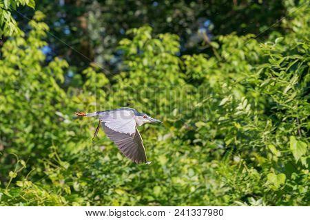 Black-Crowned Night Heron Flying. Black Crowned Night Heron Flying. stock photo