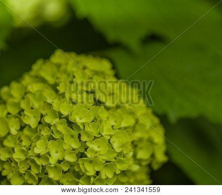 Young green snowball tree flowerschinese snowball viburnum not chinese mightylinksfo