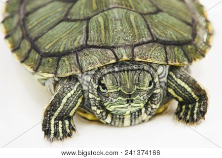 Red-eared turtle on white surface, shallow dof, focus on muzzle. stock photo