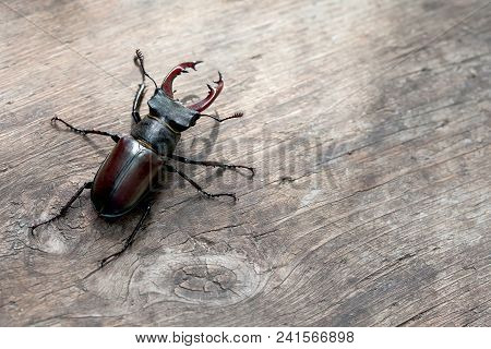 Stag beetle Lucanus cervus on wooden background. Red List rare insect macro view, shallow depth field. Selective focus, copy space. stock photo