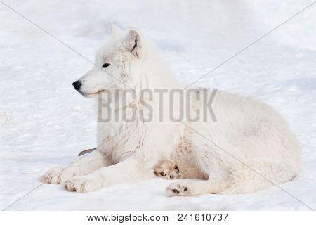 Wild polar wolf is lying on white snow. Arctic wolf or white wolf. Animals in wildlife. Canis lupus arctos. stock photo