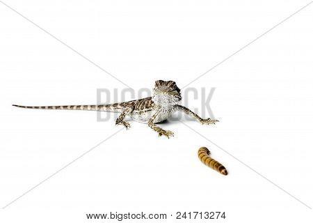 Agama. Baby Bearded Dragon and worm on white background. Pogona vitticeps. stock photo