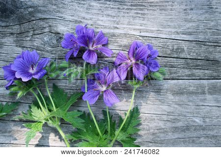 Blue Geranium pratense flower under the spring sunlight. Geranium pratense known as the meadow crane's-bill or meadow geranium. Isolated on wood background.It is a herbaceous perennial. stock photo