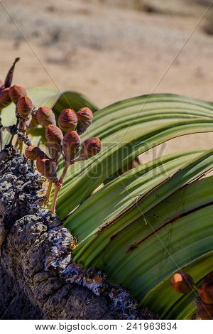 Close up of female cones and large leaves of the Welwitschia Mirabilis plant, native to Namibia and named after the Austrian botanist and doctor Friedrich Welwitsch. stock photo