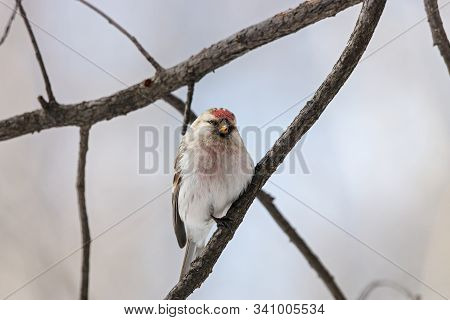 Arctic Redpoll, Carduelis hornemanni, sitting on branch of tree. Cute little northern songbird with red cap. Bird in wildlife. stock photo