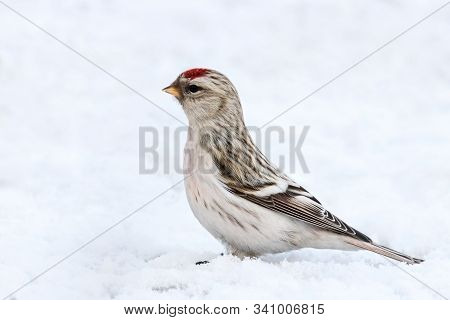 Arctic redpoll acanthis hornemanni female sitting on snow. Cute little northern wintering songbird in wildlife. stock photo
