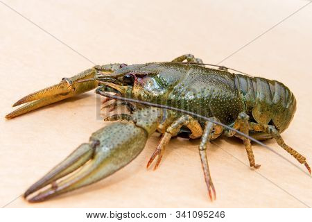 The European crayfish (Astacus astacus), noble crayfish, or broad-fingered crayfish, is the most common species of crayfish in Europe, and a traditional food source stock photo