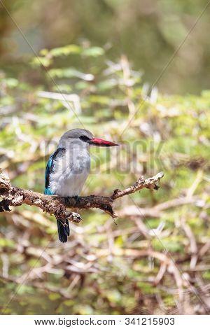 Woodland kingfisher perching on branch, Halcyon senegalensis, Lake Chamo, Ethiopia, Africa wildlife stock photo