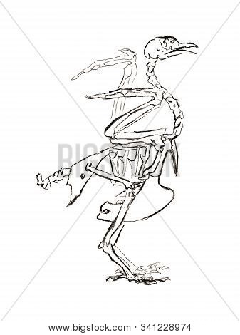 Graphite naturalistic biology bird pigeon Illustration. Animal bones drawn with pencil. Scince, zoology stock photo