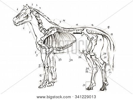 Graphite naturalistic biology horse Illustration. Animal bones drawn with pencil. Scince, zoology stock photo