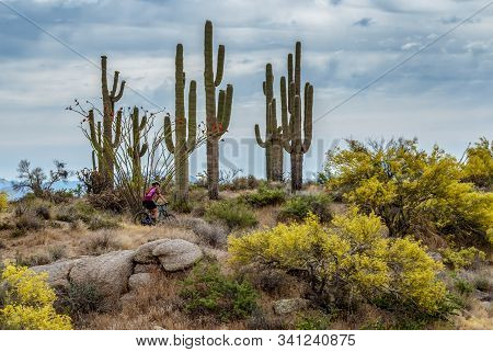 Lone Mountain Biker passing a stand of Saguaro cactus in the Arizona desert. stock photo