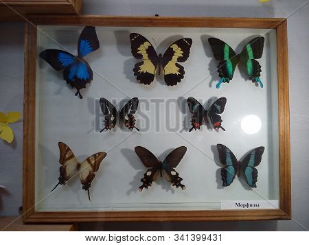 Caption: morphids. Morphids are a subfamily of day butterflies from the Nymphalidae family. Dried Amazonian butterflies impaled on entomological pins. Box with butterflies as a museum exhibit stock photo