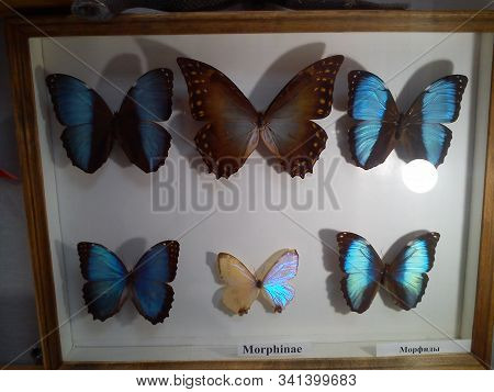 Caption: morphids. Morphids are a subfamily of butterflies from the Nymphalidae. Dried Amazonian butterflies impaled on entomological pins. Box with butterflies in a museum. Neon or mother of pearl stock photo