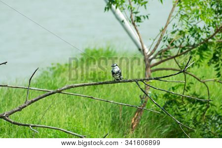 Pied kingfisher water bird (Ceryle rudis) with white black plumage crest and large beak spotted on tree branch in coastal area perching hovering for catch of fish. Kumarakom Bird Sanctuary Kerala India stock photo