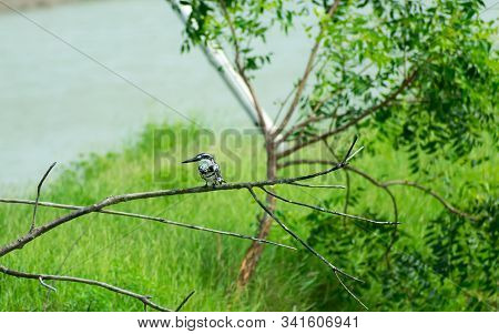 Pied kingfisher water bird (Ceryle rudis) with white black plumage crest and large beak spotted on tree branch in coastal area perching hovering for catch of fish. Porbandar Bird Sanctuary Gujarat India stock photo