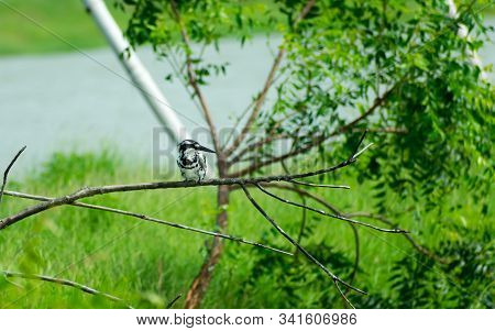 Pied kingfisher water bird (Ceryle rudis) with white black plumage crest and large beak spotted on tree branch in coastal area perching hovering for catch of fish. Nal Sarovar Bird Sanctuary Gujarat India stock photo