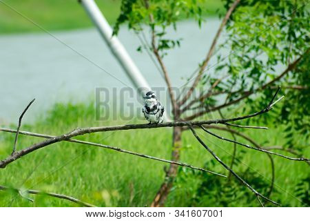 Pied kingfisher water bird (Ceryle rudis) with white black plumage crest and large beak spotted on tree branch in coastal area perching hovering for catch of fish. Kutch Bustard Sanctuary Gujarat India stock photo