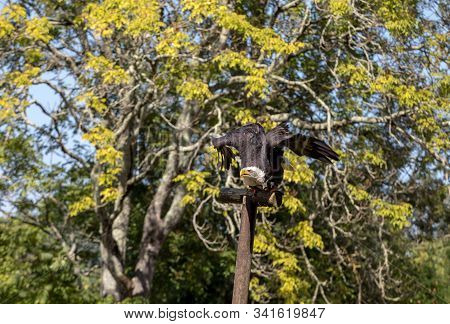 An American Bald Eagle - Haliaeetus leucocephalus stock photo