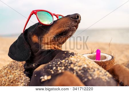 funny dog of breed dachshund, black and tan, buried in the sand at the beach sea on summer vacation holidays, wearing red sunglasses with coconut cocktail stock photo
