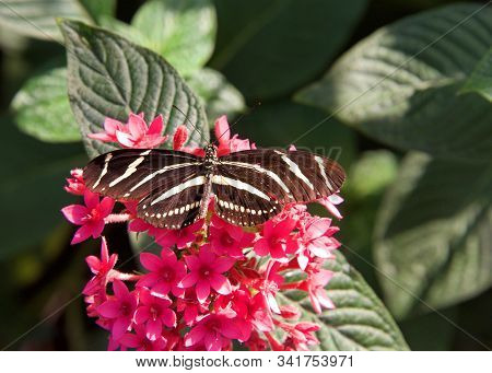 Heliconius charithonia, the zebra longwing or zebra heliconian, is a species of butterfly belonging to the subfamily Heliconiinae of the family Nymphalidae. On a red flowers with wings fully extended. stock photo