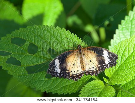 A leopard lacewing butterfly, Cethosia cyane, on green vine with wings fully extended. Female. stock photo