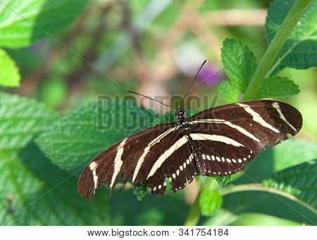 Heliconius charithonia, the zebra longwing or zebra heliconian, is a species of butterfly belonging to the subfamily Heliconiinae of the family Nymphalidae. On a green leaf with wings fully extended. stock photo