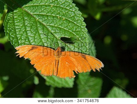orange Dryas Julia, commonly called the Julia butterfly, a species of brush footed butterfly, resting on a large green leaf, tattered wings fully extended. stock photo