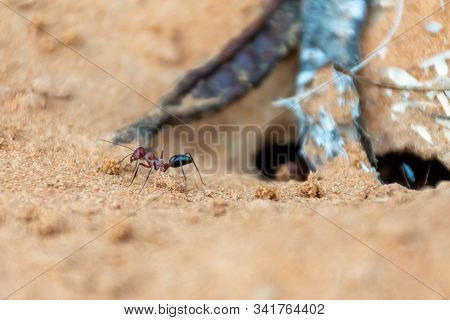 A team of Sahara Desert Ants (Cataglyphis bicolor) digging out an ant hill in the sand dunes in Ras al Khaimah, United Arab Emirates. stock photo