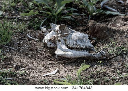 White Animal Goat skull in the Rippling dirt of the United Arab Emirates. stock photo
