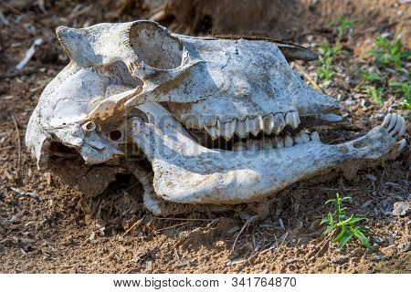 Close up of a White Animal Goat skull in the Rippling dirt of the United Arab Emirates. stock photo