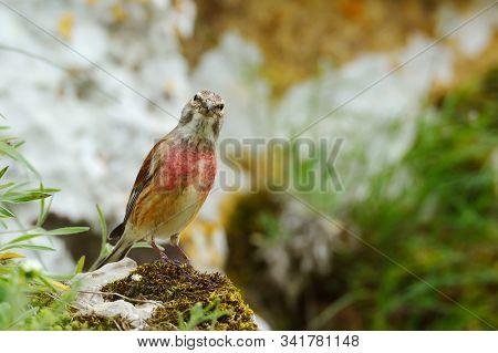 The Common Linnet in natural habitat (Carduelis cannabina)  stock photo