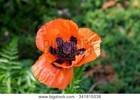 Corn poppies (Papaver rhoeas) are common agricultural weeds stock photo