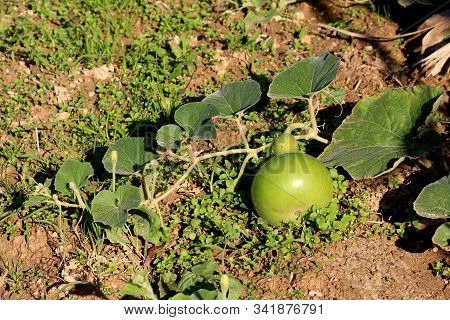 Ornamental gourd plant vine with large dark green leaves and flower buds surrounding small light green gourd in local home garden on warm sunny autumn day stock photo