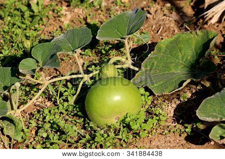 Single ornamental gourd plant vine with large dark green leaves and flower buds surrounding small light green gourd in local home garden on warm sunny autumn day stock photo