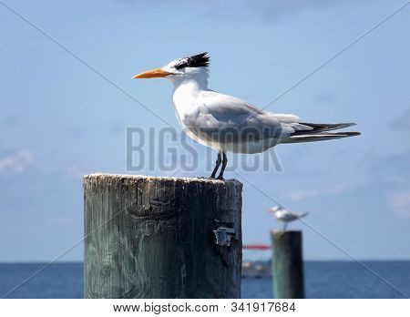 A Royal Tern in winter plumage sits on a post at Cedar Key, Florida, on the Gulf of Mexico. A boat and another tern are in the background. stock photo