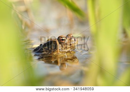 Frog in forest pond water mating season sunny spring morning Nature background Nature background Frogs toad Natural environment Nature background macro closeup Nature background outdoor vibrant scenic Nature background Nature background Nature background. stock photo