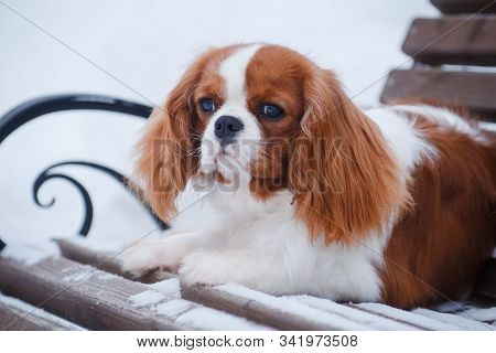Dog cavalier king charles spaniel, red and white, standing outdoors in the snow in the park in the winter in the back stock photo
