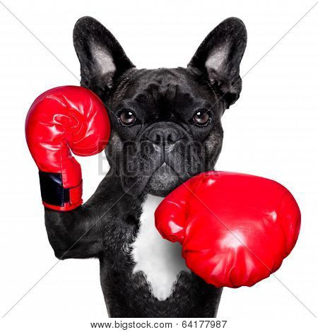 french bulldog boxing dog with big red gloves stock photo