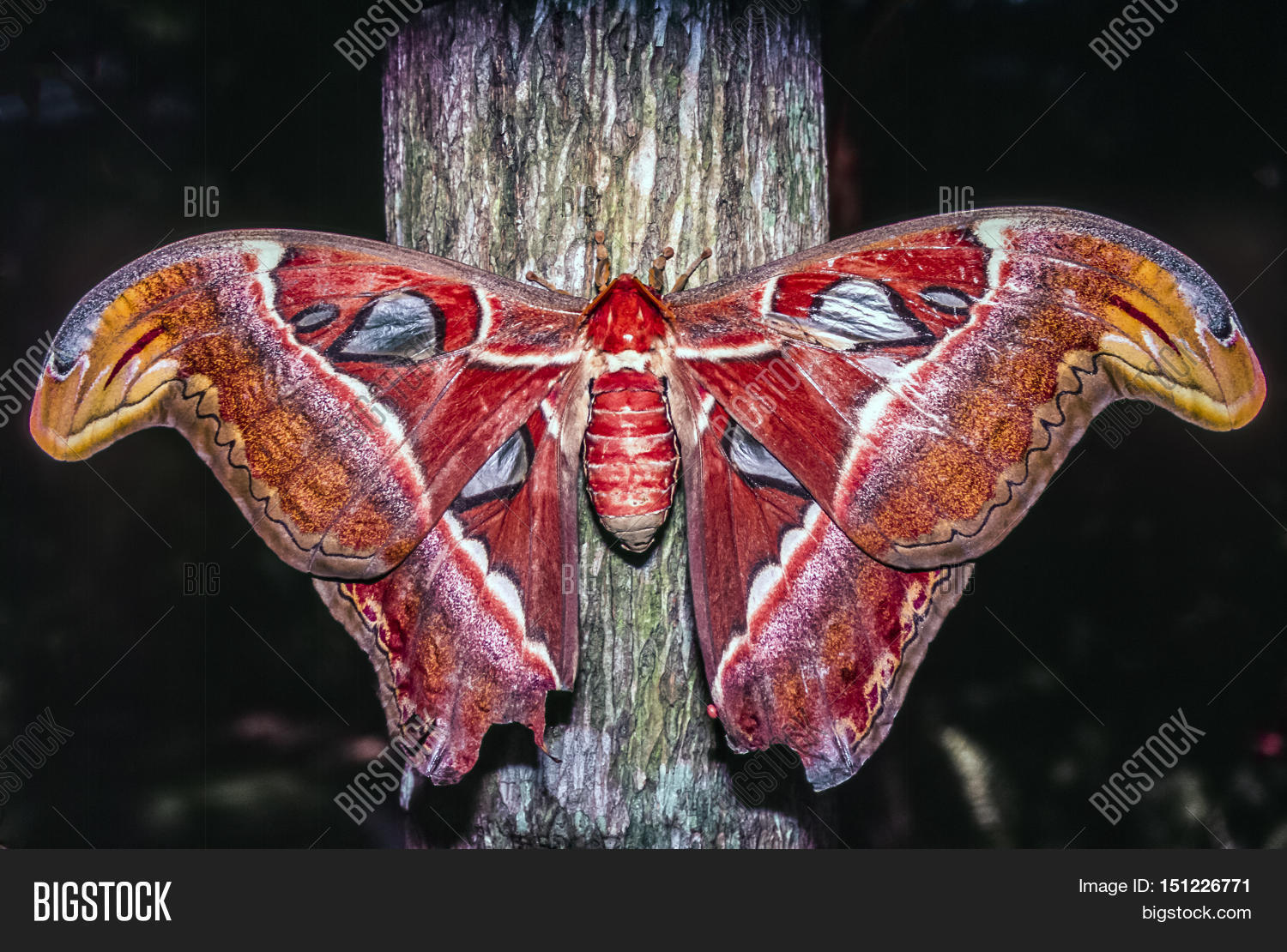 Atlas,moth,Attacus,atlas,large,saturniid,tropical,subtropical,Southeast,Asia,animal,insect,pole,red