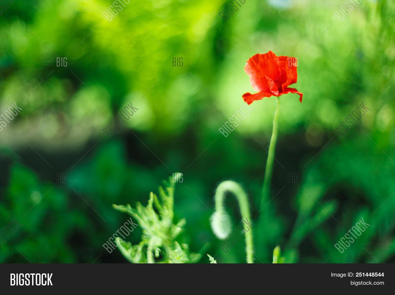 Poppy flower beautiful single flower head poppy flowers field background beautiful izmirmasajfo