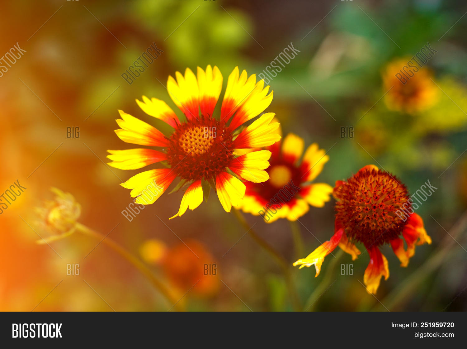 Beautiful Bright Flower Helenium On Blooming Green Meadow Photo Stock