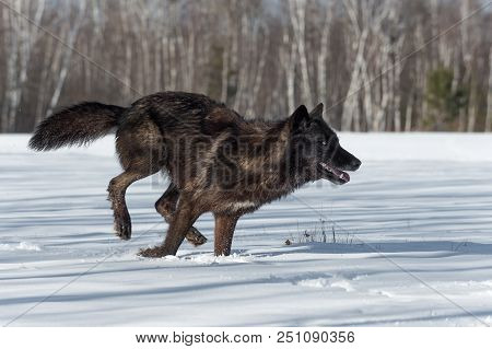 Black Phase Grey Wolf (Canis lupus) Runs Right in Snowy Field - captive animal stock photo