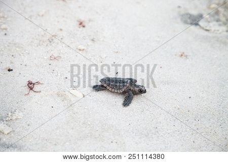 Hatchling baby loggerhead sea turtles Caretta caretta climb out of their nest and make their way to the ocean at dusk on Clam Pass Beach in Naples, Florida stock photo