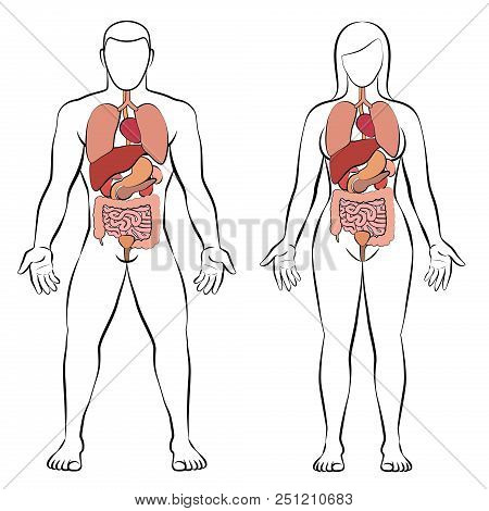 Digestive tract with internal organs, male and female body - schematic human anatomy illustration - isolated vector on white background. stock photo