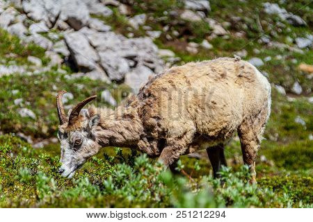 A mountain goat grazing on the summit of Parker Ridge in Jasper National Park in the Canadian Rockies. stock photo