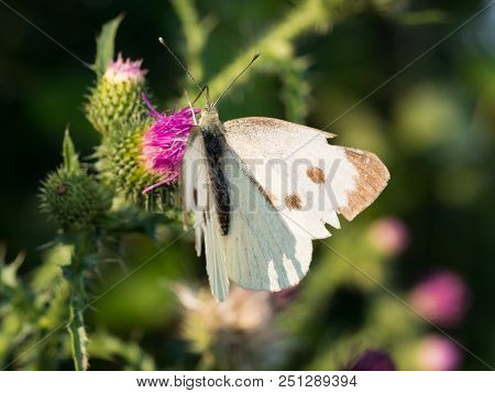 The large white butterfly (Pieris brassicae, cabbage butterfly) sitting on a blooming thistle stock photo