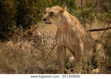 Lioness (Panthera Leo) Simba in Swahili Language stock photo