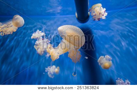 White spotted jellyfish or Floating bell or Australian spotted jellyfish. stock photo