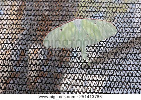 Luna Moth. Actias luna, the luna moth , is a lime-green, Nearctic Saturniid moth, in the family Saturniidae, subfamily Saturniinae.  stock photo